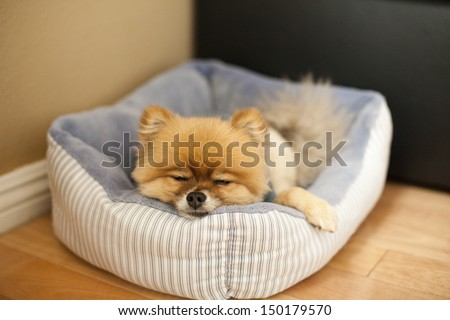 Pomeranian sleeping on bed in living room on hardwood floor - stock photo
