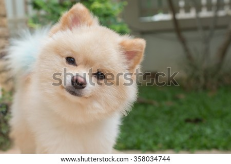 pomeranian small dog cute pets friendly in home, question face - stock photo