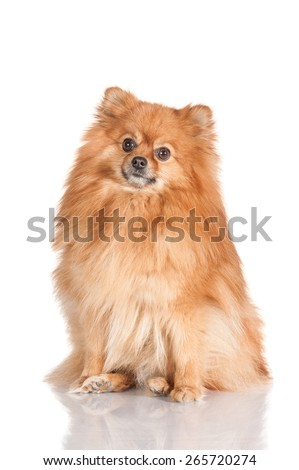 Pomeranian spitz - stock photo