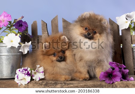 pomeranian spitz puppies and flowers  - stock photo
