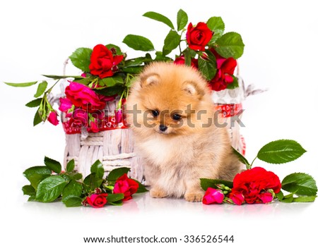 pomeranian spitz puppies and flowers roses - stock photo
