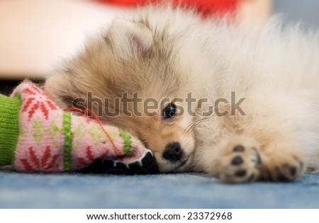 Pomeranian spitz puppy - stock photo