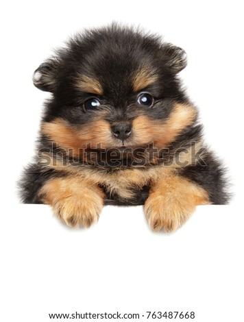Pomeranian Spitz puppy above banner isolated on white background