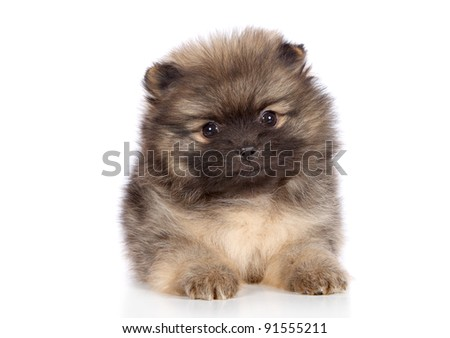 Pomeranian spitz puppy lying. Close-up portrait on a white background