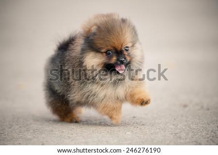 Pomeranian Spitz puppy running on beige background - stock photo