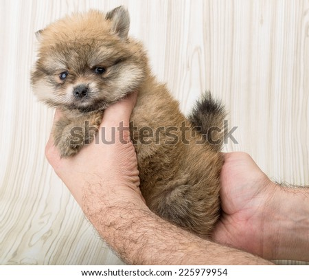 Pomeranian spitz - small dog posing on the background