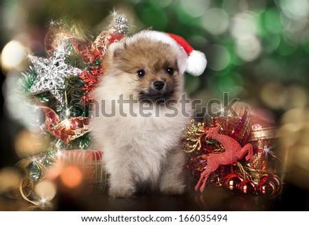 Pomeranian spitz wearing a santa hat - stock photo