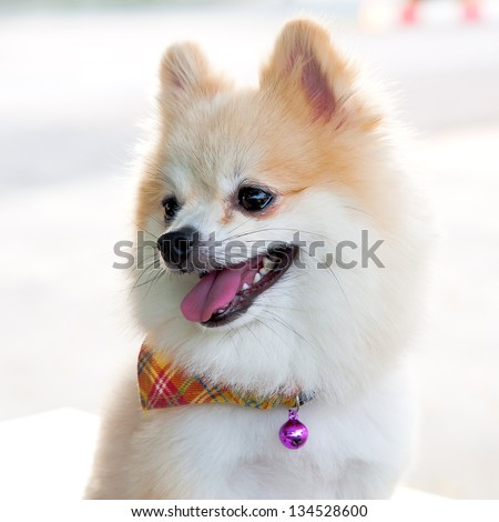 pomeranian wearing a scarf - stock photo