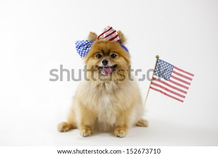 Pomeranian with patriotic headband with a USA flag on the side - stock photo
