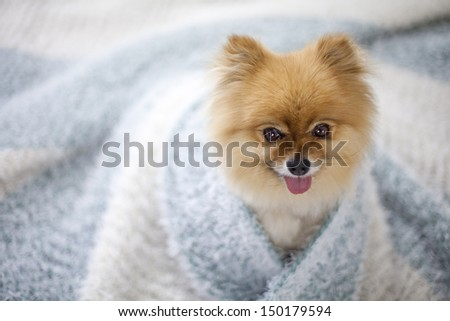 Pomeranian wrapped in blue and white throw on bed - stock photo