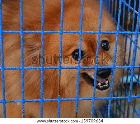 Pomeraniandog Fierce - stock photo