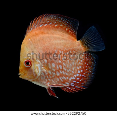 pompadour fish isolated on black background
