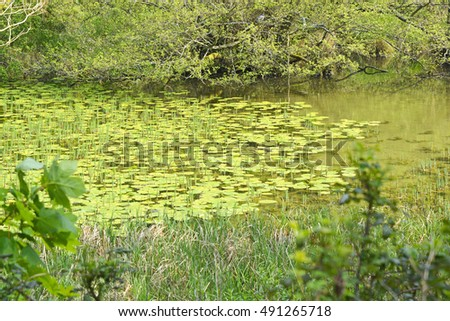 Pond covered in Water Lilies in English countryside