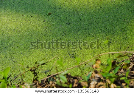 Pond covered with Lemna minor - stock photo