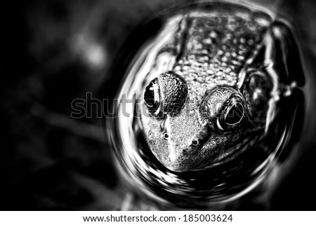 pond frog resting in water - stock photo
