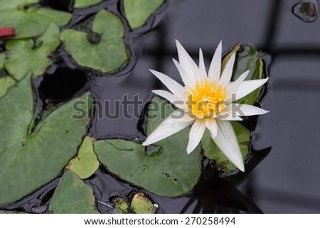 Pond in the garden with single white water lily blooming - stock photo