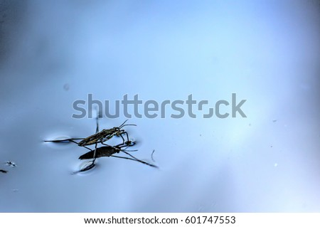 Pond skater floating on the surface of forest lake.