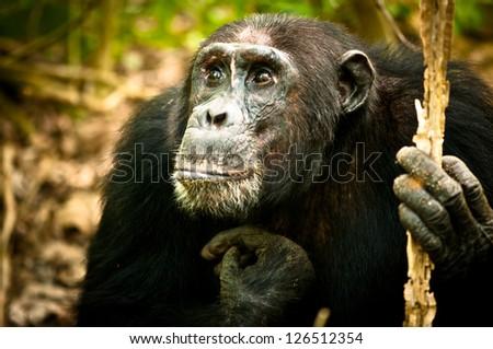 Pondering Chimpanzee at Mahale National Park in Tanzania - stock photo