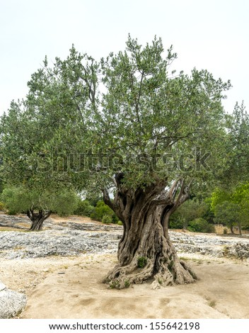 Pont du Gard (Gard, Languedoc-Roussillon, France), very old olive trees