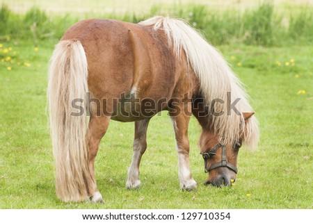 Pony - stock photo
