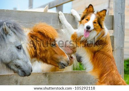 pony and Border Collie dog are dating - stock photo