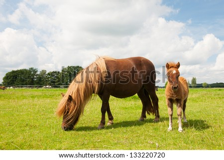 Pony and young foal in the meadows in agriculture landscape - stock photo