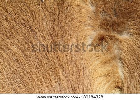 pony beige textured fur detail, image taken at the farm - stock photo