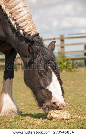 Pony eating a hay block to extend eating time & avoid boredom - stock photo