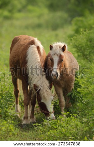 Pony eating grass on the ranch - stock photo