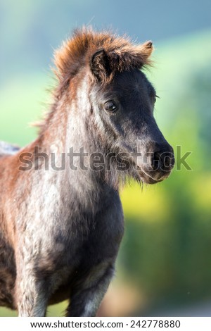 Pony head close up on summer background, Shetland pony. - stock photo