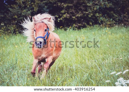 Pony horse on a leash is galloping on the meadow. Shetland Norwegian pony is exercising on green grass with forest in the background. Animal in nature - stock photo