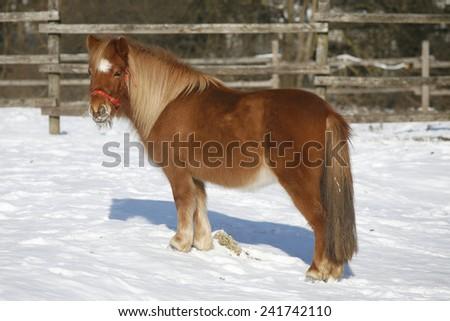 Pony horse sun bathing in winter corral rural scene - stock photo