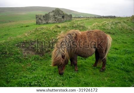 Pony, Shetland, Scotland - stock photo