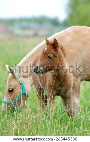 pony with foal on a pasture - stock photo