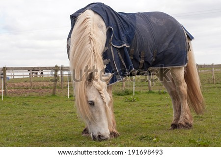 Pony with sweet itch, wearing a blue fly rug for protection against flies
