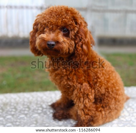 poodle - stock photo