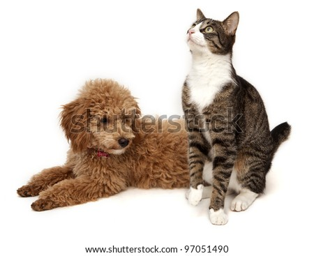 Poodle an Cat on White Background