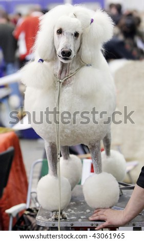 Poodle at a hairdressing saloon - stock photo