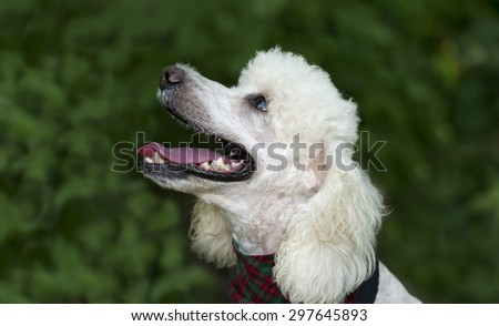 Poodle dog is looking smiling and happy with mouth open enjoying being outdoors with copyspace.