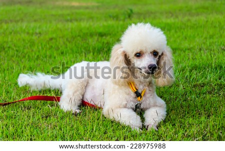 Poodle Dog lying on the grass. - stock photo