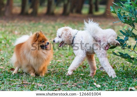 Poodle doing the symbol to declare its territory over Pomeranian