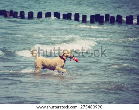 Poodle fetching object in ocean, retro toned with dark vignette - stock photo