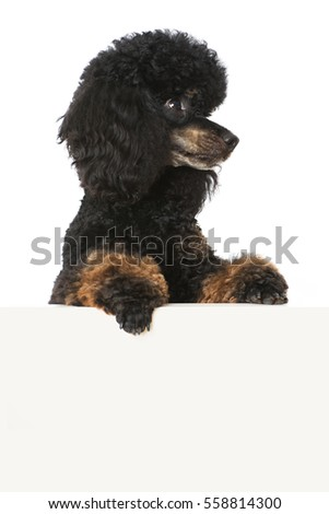 Poodle looking over a wall