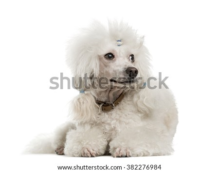 Poodle lying in front of a white background