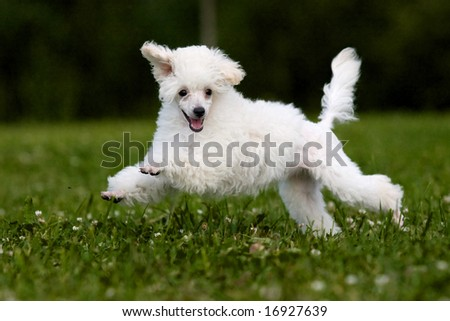 Poodle Miniature playing in grass