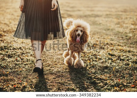 Poodle on a walk with their owner, fall