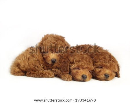 Poodle puppies isolated over white background