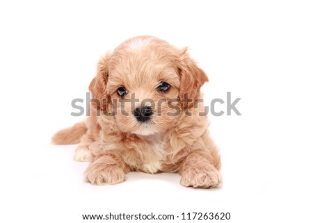 Poodle Puppy - stock photo