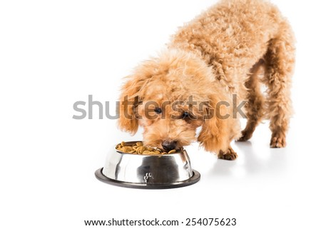 Poodle puppy eating kibbles from a bowl