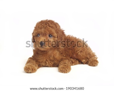 Poodle puppy isolated over white background - stock photo